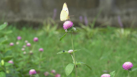 eastern pale clouded yellow and trifolium pratense Live Action