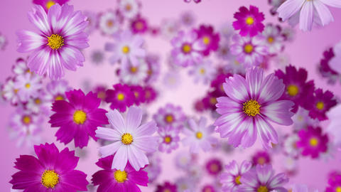 A space where cosmos flowers are floating, purple background CG動画
