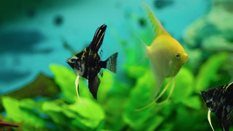Close up of swimming fish viewed against vibrant background in a fish tank. Slow motion Acción en vivo