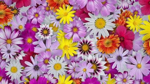 Flowers spread all over, white background CG動画