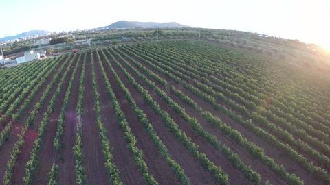 Vineyard at Sunset (1) Footage
