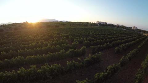 Vineyard at Sunset (3) Footage