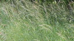 blades of grass Footage