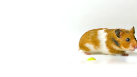1080p Golden Hamster Footage