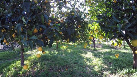 Orange Trees Footage