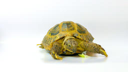 1080p Kleinmann's Tortoise / Egyptian Tortoise Live Action