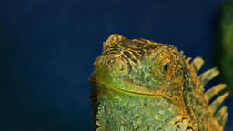1080p Green Iguana Close-Up Footage