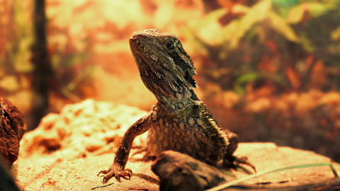 1080p Central Bearded Dragon (Pogona Vitticeps) in Terrarium Footage