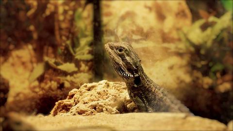 1080p Central Bearded Dragon (Pogona Vitticeps) in Terrarium Footage