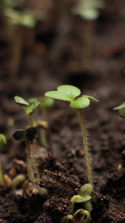 Growing plants in spring timelapse, Sprouts Germination plant, vertical shot Live Action