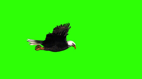 Bald Eagle Side View on a Green Screen Live Action