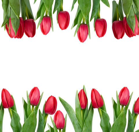 blooming red tulips with green leaves and stem isolated on white Fotografía