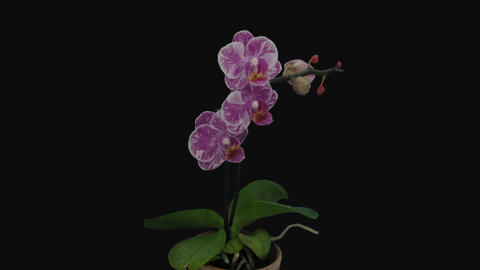 Time-lapse of opening pink and white Phalaenopsis orchid, 4K with ALPHA channel Live Action