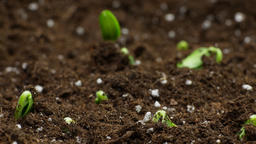 Growing Plants Timelapse, Spring Sprouts Germination in greenhouse, agriculture Live Action