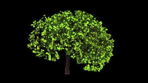 Plane Tree Growth Animation