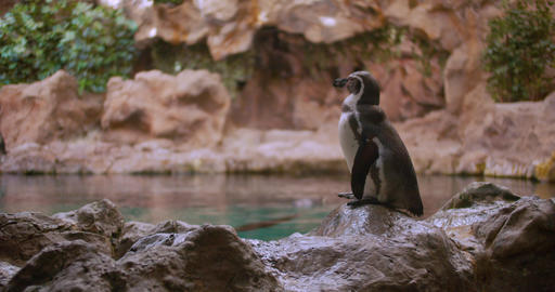 Close-up Penguin. Funny Male and Female Birdes in zoo Live Action
