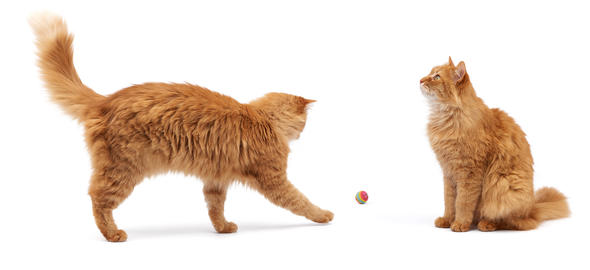 adult fluffy red cat plays with a red ball on a white background Fotografía