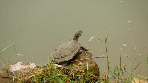 A rub-eared turtle dives into the water from fright Live Action