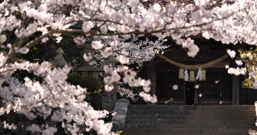 Cherry blossoms are fluttering in the soft breeze Live Action