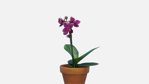 Time-lapse of opening dark purple Phalaenopsis orchid with ALPHA channel Live Action