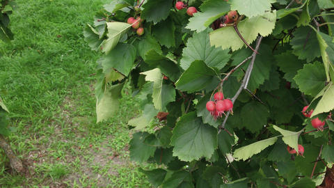A bunch of orange rose hips copy space. Wild berries pattern. Natural medicinal Live Action