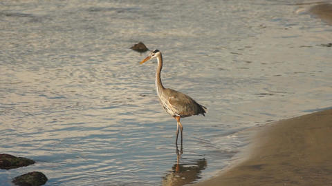 Wild Blue Heron Hunts in Yaquina Bay Animal Wildlife Pacific Ocean West Coast Footage