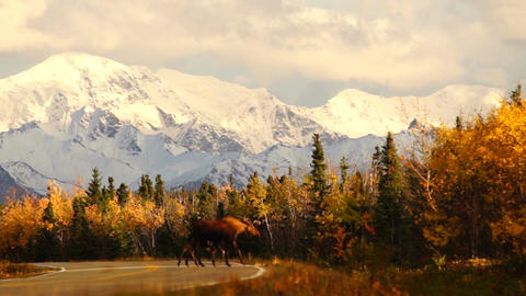 Moose Mother Leads Calf Across Busy Alaska Highway USA Wildlife Footage