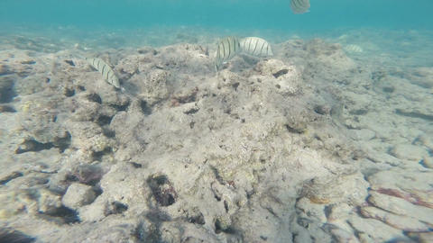 Tropical Fish Hanauma Bay Underwater South Shore Oahu Hawaii Footage
