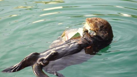 Wild Sea Otter Eats Fresh Fish Reserrection Bay Animal Wildlife Footage