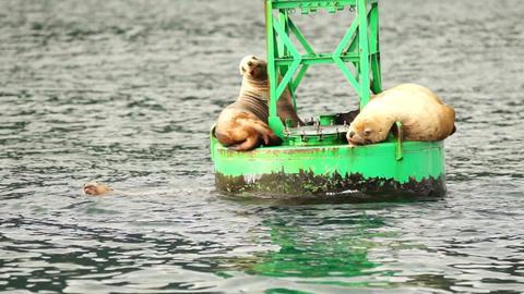 Sea Lions Slumber Ocean Buoy Reserrection Bay Sea Wildlife Footage