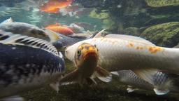 Koi Pond Big Colorful Carp Swim underwater Footage