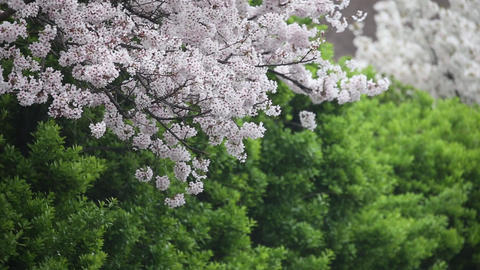 cherry blossoms and greens-12videos Footage