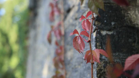 Red grape vine branch climbs brick wall Footage