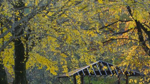 Autumn Leaves - Ginkgo / Yellow - Nogawa Park (Tokyo, Japan) - Fix ビデオ