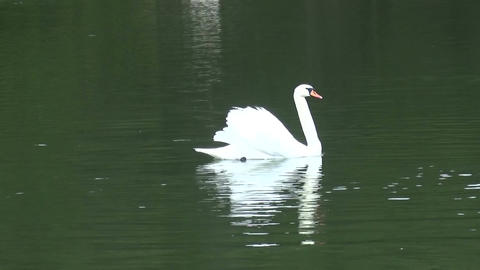 Swan in the Lake (2) Live Action