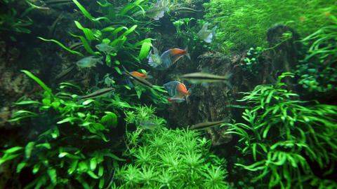 4k video of lots of colorful fishes swimming between grass and weeds in fresh Live Action