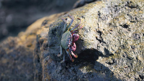 4k closeup video of crab sitting on cliff in ocean and warming under sun rays Live Action
