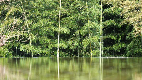 Reflection of tree and bamboo on a pond at dawn Live Action