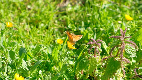 Spring butterfly speyeria aglaja flying over pollen flowers,nymphalidae insect Acción en vivo