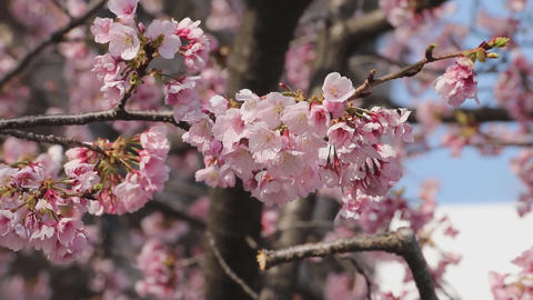 cherry blossoms Live Action