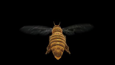 Follow flying honey bee Alpha 4K CG動画