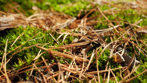 Macro dolly video of fresh green moss, fallen tree leaves and fir tree needles Live Action