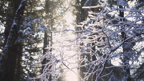 Sunrise beams going through frozen branches in deep forest ライブ動画
