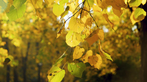 Closeup slow motion footage of yellow, red and golden tree leaves slowly falling ライブ動画