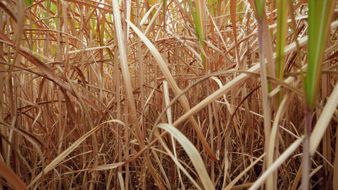 4k video of camera slowly moving between high grass and stems of dry corn on the Live Action