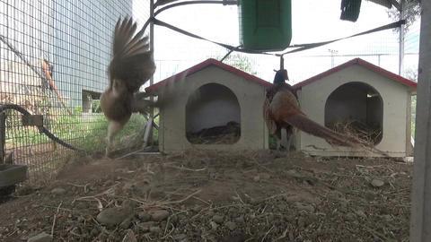Pheasants 2 Footage