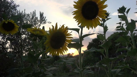 Sunflowers During Nightfall (2) Live Action