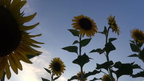 Sunflowers During Nightfall (3) Footage