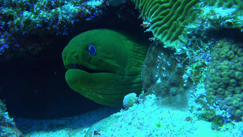 large green eel with blue eyes stares out of its hiding place inside a coral Footage