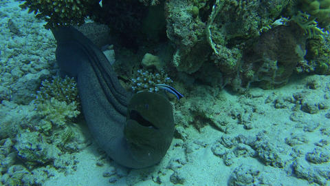 huge underwater eel stares into the camera curiously and swims off Footage